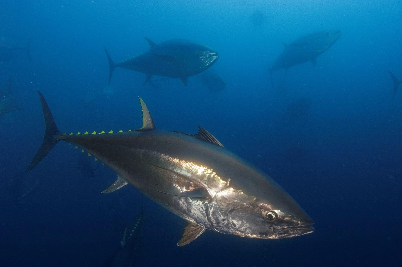 Makrellstørje, havets Ferrari, er verdens største tunfiskart og designet for fart og spenning. Foto: Brian J. Kerry.